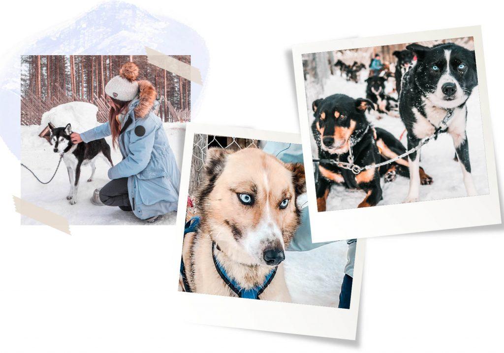 chiens en Laponie