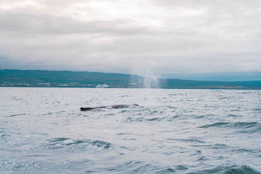 observer les baleines islande